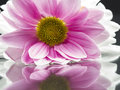 Pink chrysanthemums with details and reflexions mirror Stock Photo