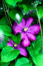 Pink clematis flowers. Royalty Free Stock Photo