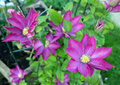Pink clematis tree Royalty Free Stock Photo