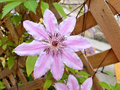 Pink clematis on vine Royalty Free Stock Photo