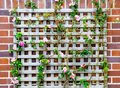 Pink climbing rose with timber frame on the red brick wall. Royalty Free Stock Photo