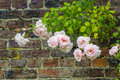 Pink climbing roses against brick wall Royalty Free Stock Photo