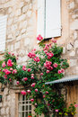 Pink climbing roses on the wall in the old town Royalty Free Stock Photo