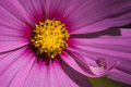 Pink closeup of Cosmo flower Royalty Free Stock Photo