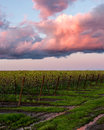 Pink clouds at sunset in Napa vineyard reflected in puddles Royalty Free Stock Photo