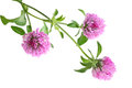 Pink Clover Flower Royalty Free Stock Photo