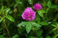 Pink clover (trifolium pratense) Royalty Free Stock Photo
