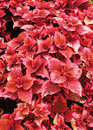 Pink coleus leaves in the garden Royalty Free Stock Images