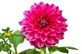 Pink color flower Royalty Free Stock Photo