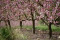 Pink colored peach trees blooming in spring Stock Photography