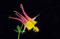 Pink columbine on black background closeup of and yellow flower against Royalty Free Stock Photography