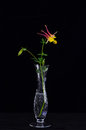 Pink columbine on black background stem of and yellow flower in elegant crystal vase against Stock Photography