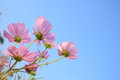 Pink comos flowers on sky background Stock Photography