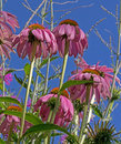 Pink Cone Flowers AS Seen From Below Royalty Free Stock Photo