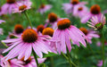 Pink Coneflower Royalty Free Stock Photography