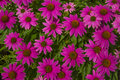 Pink Coneflower (Echinacea) Background Royalty Free Stock Photo