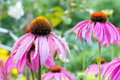 Pink coneflower Royalty Free Stock Photo