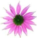 Pink coneflower Royalty Free Stock Photo