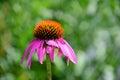 Pink coneflower single echinacea bloom Royalty Free Stock Photo