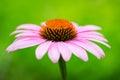 Pink coneflower & x28;echinacea& x29; Royalty Free Stock Photo