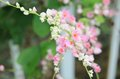 Pink confederate vine blooming in the garden coral mexican coral mexican creeper queen s jewels queen s wreath Royalty Free Stock Photos