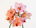 Pink and Coral cultivated orchid isolated on black background - perfect greeting card Royalty Free Stock Photo