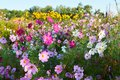 The pink coreopsis flowers in blossom