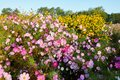 The pink coreopsis flowers and yellow flowers in blossom