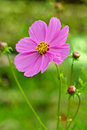 Pink cosmea (cosmos) flower Royalty Free Stock Photo