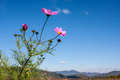 Pink cosmos against blue sky bright flowers on stems with buds background hills in distance Royalty Free Stock Images