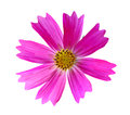 Pink cosmos bipinnatus flower head isolated on white background Royalty Free Stock Image