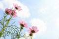 Pink cosmos and blank area at right side sulphureus with translucent petal cloudy blue sky Stock Photos