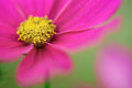 Pink cosmos flower Stock Photos