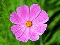 Pink cosmos flower on blurry green background a or mexican aster bipinnnatus close up taken a Royalty Free Stock Photos