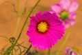 Pink cosmos flower cosmos bipinnatus with blurred background Royalty Free Stock Photography