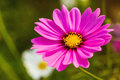 Pink cosmos flower cosmos bipinnatus blurred background with Stock Photography