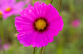 Pink cosmos flower cosmos bipinnatus with blurred background in natural light Stock Image