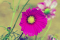 Pink cosmos flower cosmos bipinnatus with blurred background in vintage style Royalty Free Stock Photos