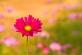 Pink cosmos flower cosmos bipinnatus with blurred background in vintage style Stock Photo