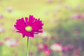 Pink cosmos flower cosmos bipinnatus with blurred background in vintage style Royalty Free Stock Images