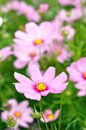 Pink cosmos flower with defocused background soft tones blurry green and Stock Photography