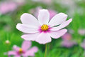 Pink cosmos flower with defocused background soft tones blurry green Royalty Free Stock Photography
