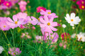 Pink cosmos flower family compositae in garden Royalty Free Stock Images