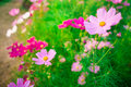 Pink cosmos flower family compositae in garden Royalty Free Stock Image