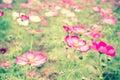 Pink cosmos flower field