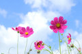 Pink cosmos in flower fields. Royalty Free Stock Photo