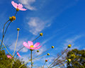 Pink cosmos flowers against a blue sky Stock Image
