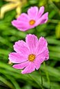 Pink cosmos flowers on blurry green background a or mexican aster bipinnnatus close up taken a Stock Images