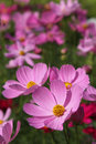 Pink cosmos flowers close up in the garden Royalty Free Stock Photo
