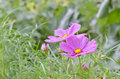 Pink cosmos flowers in garden flower blooming Royalty Free Stock Image